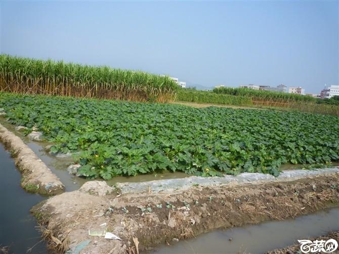 近口西葫芦台湾水瓜田间表现有现货 好品种尽在福田益农种子店_9.jpg