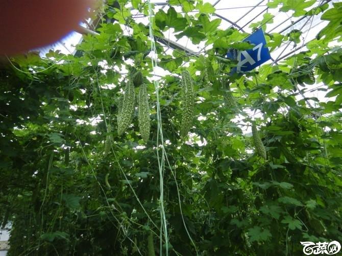 大棚种植蔬菜-拍拍拍 DSC00984_8.jpg
