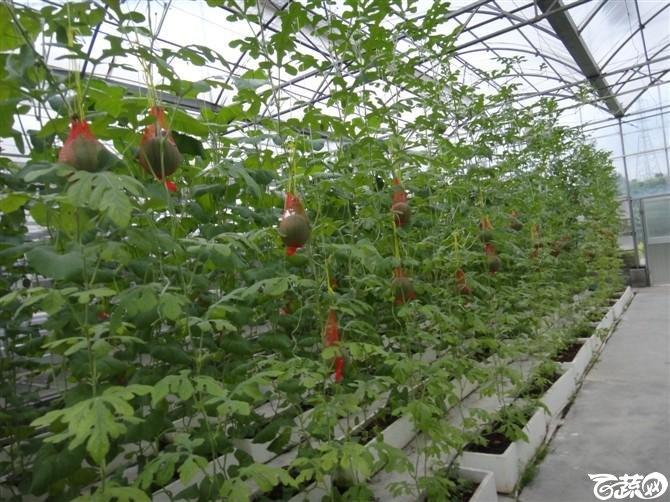 大棚种植蔬菜-拍拍拍 DSC00985_58.jpg