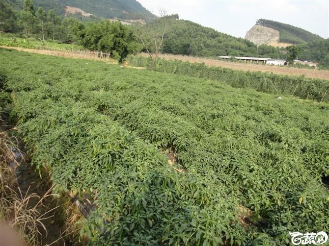 惠州辣椒-2012年五月田间品种 五月田间品种_28.jpg