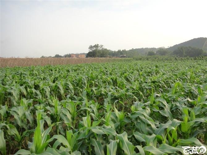 甜玉米-2012年五月田间品种 五月田间品种_2.jpg