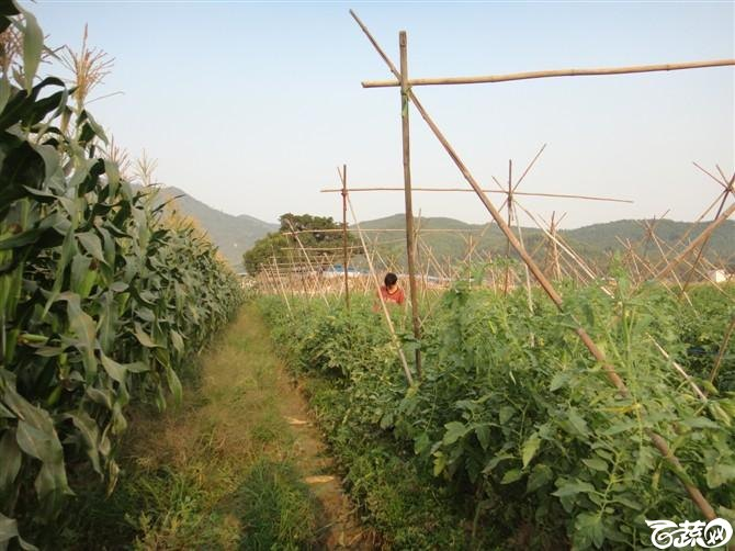 新品台湾甜玉米特高产 2012年10月18日_11.jpg