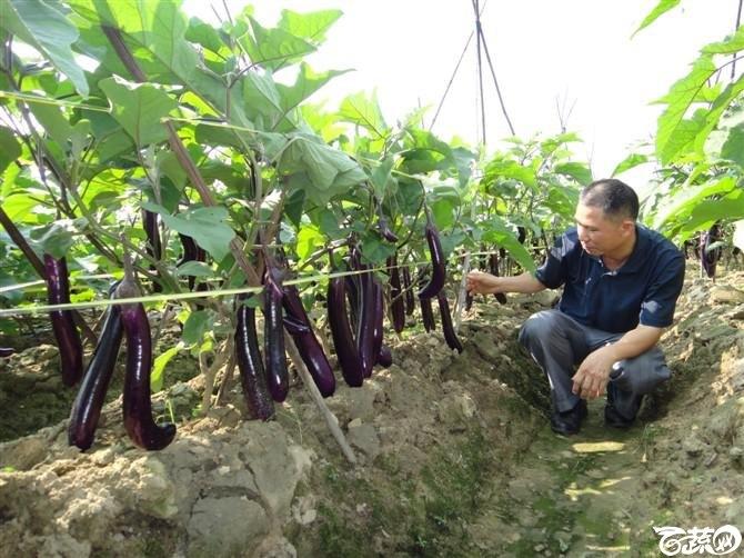 紫红长茄-2012年五月田间品种 五月田间品种_13.jpg