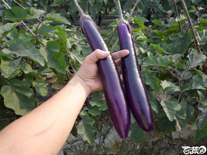 紫红长茄 20220426_26.jpg
