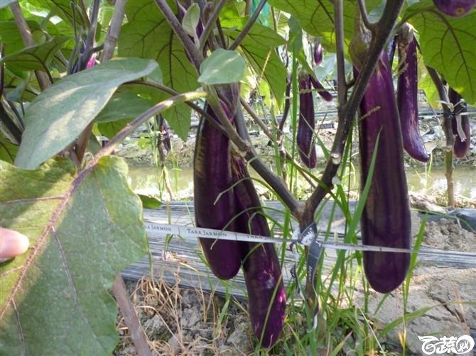 完美茄子抗病第一耐热第一产量第一 2011年4月26日完美茄子_6.jpg