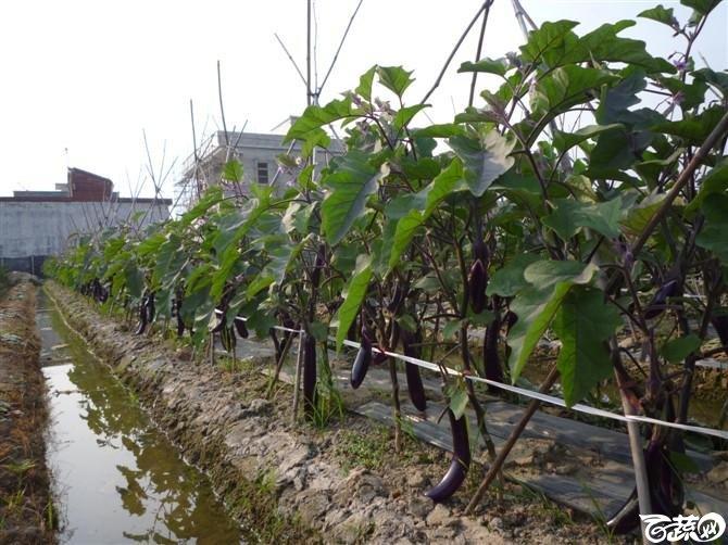 完美茄子抗病第一耐热第一产量第一 2011年4月26日完美茄子_16.jpg