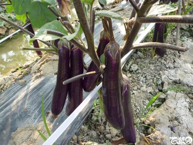 完美茄子抗病第一耐热第一产量第一 2011年4月26日完美茄子_17.jpg