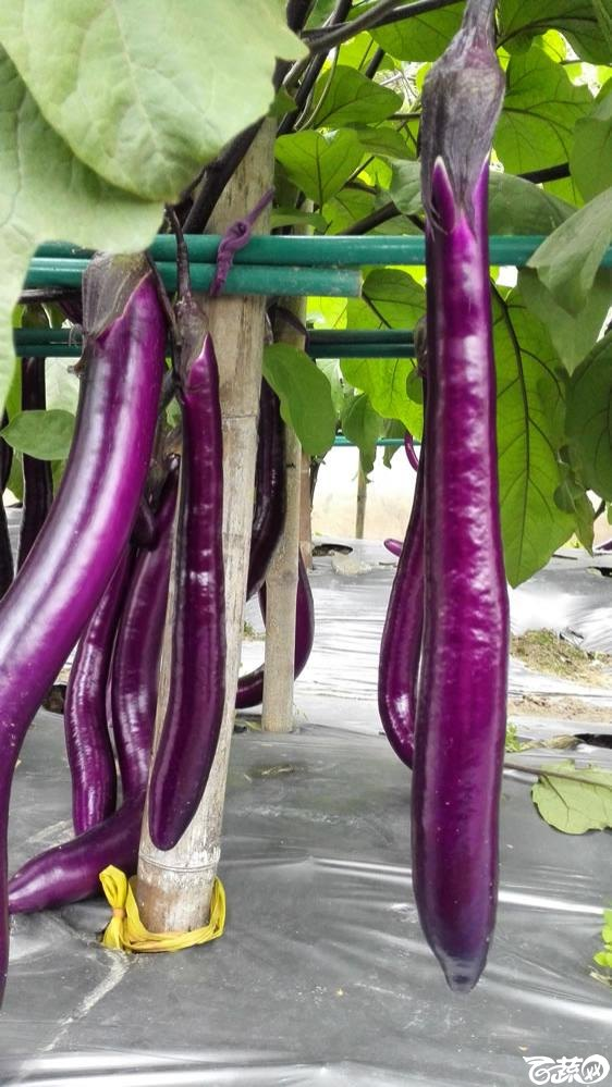 2015年双12广东种业博览会全国优良蔬菜品种田间表现-厦门文兴种苗红秀紫红长茄-006.jpg