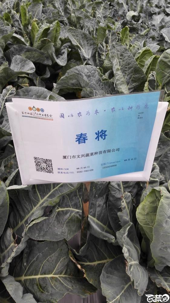 2015年双12广东种业博览会全国优良蔬菜品种田间表现-厦门文兴种苗春将花椰菜-001.jpg