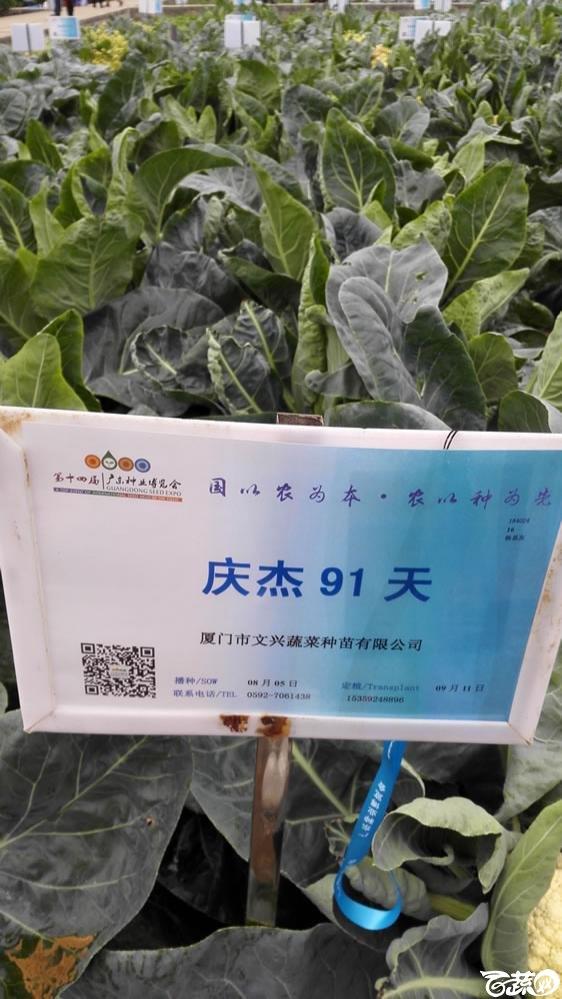 2015年双12广东种业博览会全国优良蔬菜品种田间表现-厦门文兴种苗庆杰91天花椰菜-001.jpg
