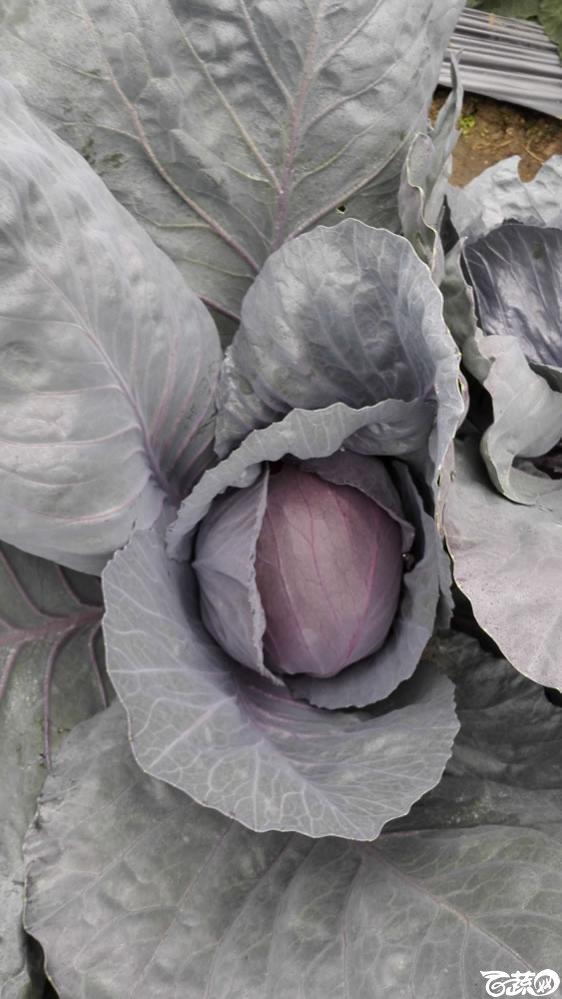 2015年双12广东种业博览会全国优良蔬菜品种田间表现-厦门文兴种苗紫美紫甘蓝-007.jpg