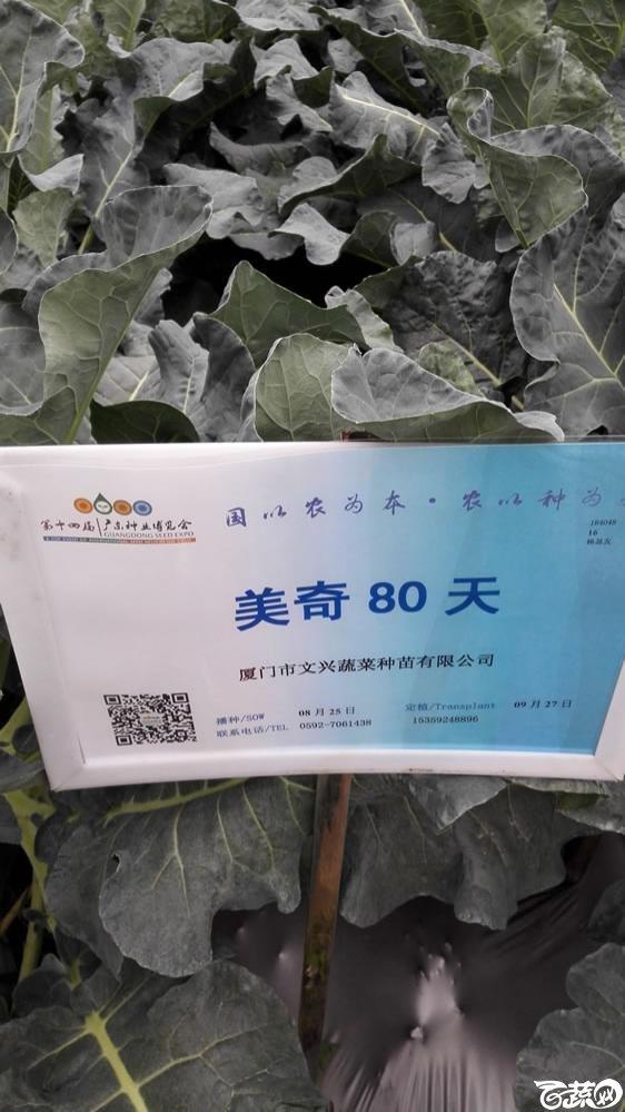 2015年双12广东种业博览会全国优良蔬菜品种田间表现-厦门文兴种苗美奇80天花椰菜-001.jpg