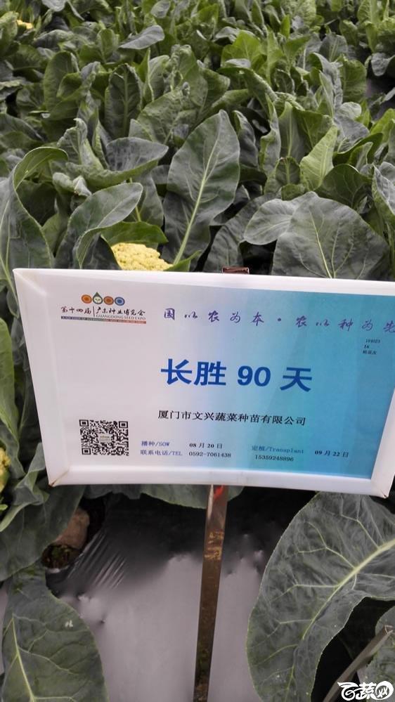 2015年双12广东种业博览会全国优良蔬菜品种田间表现-厦门文兴种苗长胜90天花椰菜-001.jpg