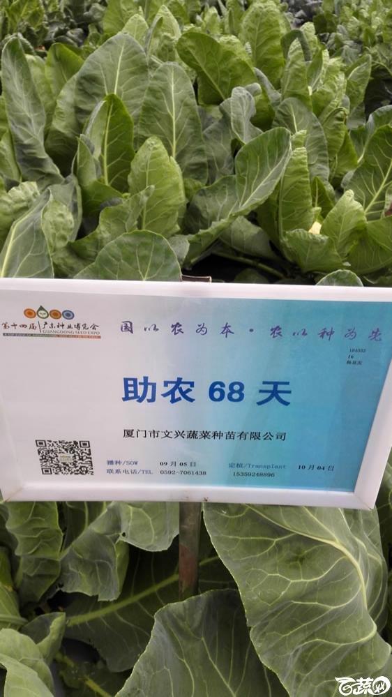 2015年双12广东种业博览会全国优良蔬菜品种田间表现-厦门文兴种苗助农68天花椰菜-001.jpg
