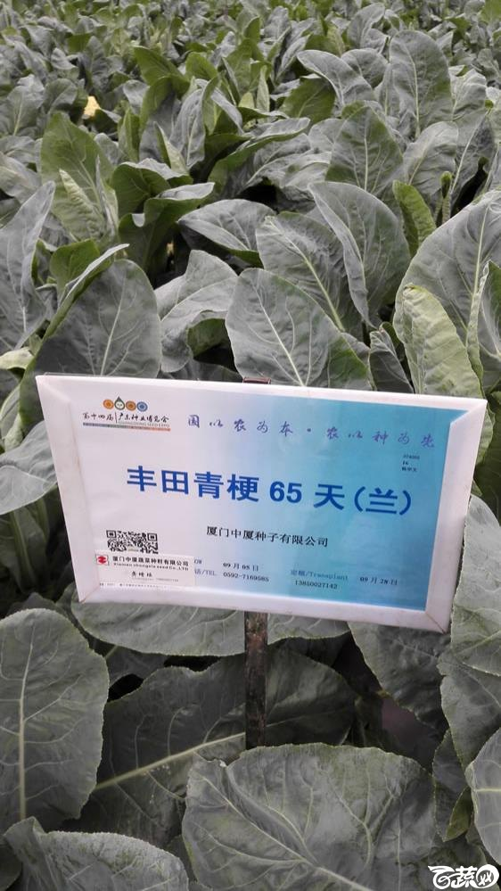 2015年双12广东种业博览会全国优良蔬菜品种田间表现-厦门中厦丰田青梗65天(兰)-001.jpg