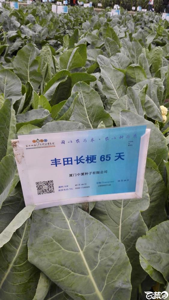 2015年双12广东种业博览会全国优良蔬菜品种田间表现-厦门中厦丰田长梗65天-001.jpg