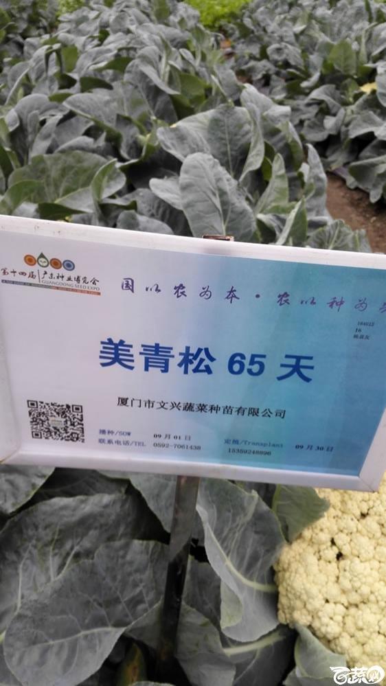 2015年双12广东种业博览会全国优良蔬菜品种田间表现-厦门文兴种苗美青松65天花椰菜-001.jpg