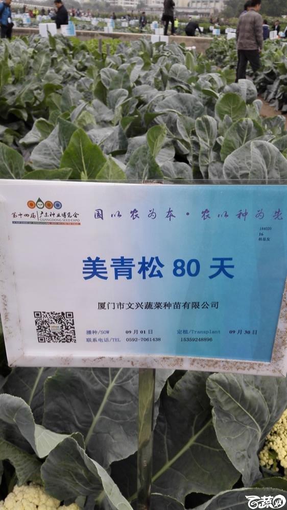2015年双12广东种业博览会全国优良蔬菜品种田间表现-厦门文兴种苗美青松80天花椰菜-001.jpg
