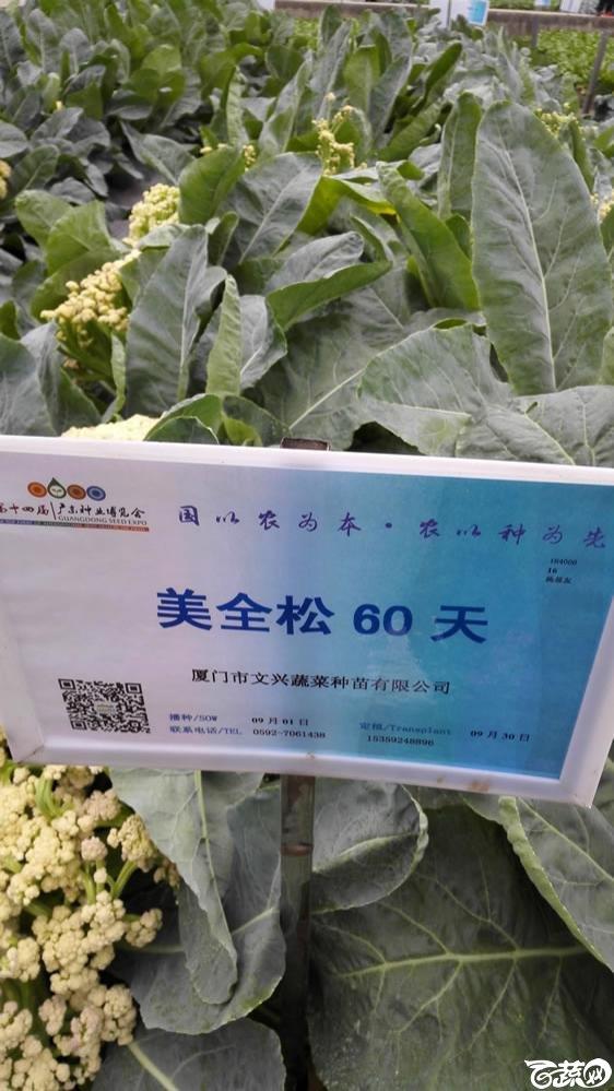 2015年双12广东种业博览会全国优良蔬菜品种田间表现-厦门文兴种苗美全松60天花椰菜-001.jpg
