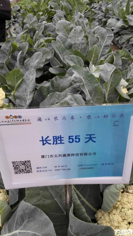 2015年双12广东种业博览会全国优良蔬菜品种田间表现-厦门文兴种苗长胜55天花椰菜-001.jpg