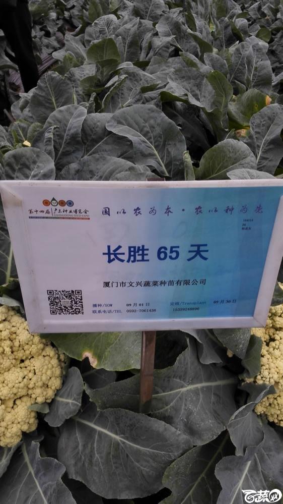 2015年双12广东种业博览会全国优良蔬菜品种田间表现-厦门文兴种苗长胜65天花椰菜-001.jpg