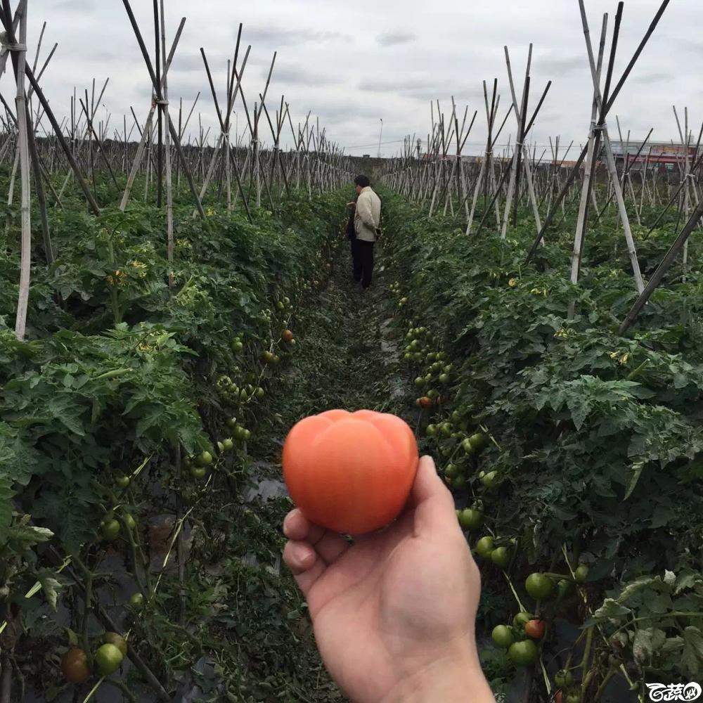 20160224惠州福田番茄 001.JPG