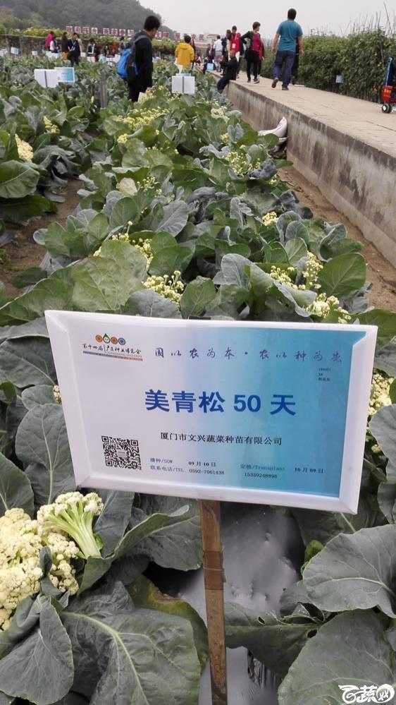 2015年双12广东种业博览会全国优良蔬菜品种田间表现-厦门文兴种苗美青松50天花椰菜-001.jpg