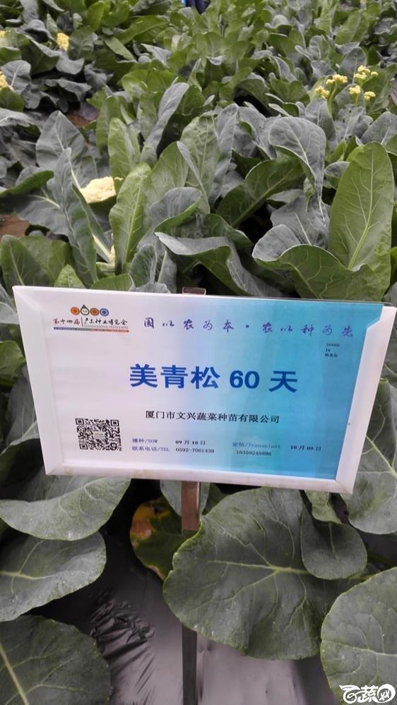 2015年双12广东种业博览会全国优良蔬菜品种田间表现-厦门文兴种苗美青松60天花椰菜-001.jpg