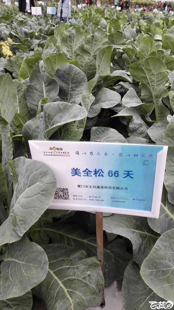 2015年双12广东种业博览会全国优良蔬菜品种田间表现-厦门文兴种苗美全松66天花椰菜-001.jpg