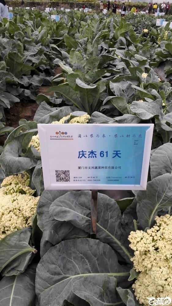 2015年双12广东种业博览会全国优良蔬菜品种田间表现-厦门文兴种苗庆杰61天花椰菜-001.jpg