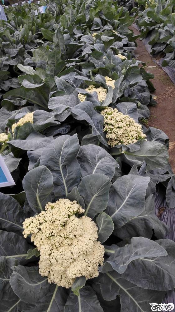 2015年双12广东种业博览会全国优良蔬菜品种田间表现-厦门文兴种苗庆杰61天花椰菜-004.jpg