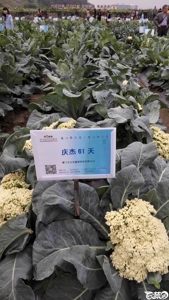 2015年双12广东种业博览会全国优良蔬菜品种田间表现-厦门文兴种苗庆杰61天花椰菜-005.jpg
