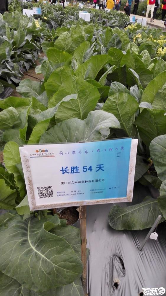 2015年双12广东种业博览会全国优良蔬菜品种田间表现-厦门文兴种苗长胜54天花椰菜-001.jpg