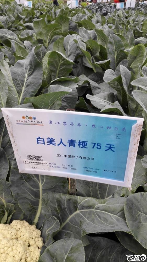 2015年双12广东种业博览会全国优良蔬菜品种田间表现-厦门中厦种子白美人青梗75天花椰菜-001.jpg