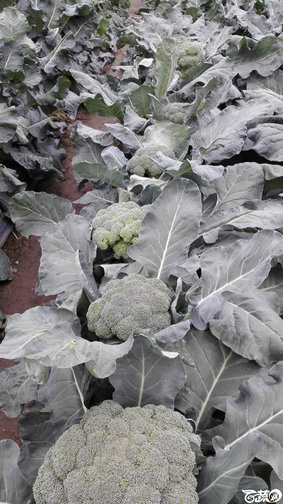 2015年双12广东种业博览会全国优良蔬菜品种田间表现-厦门中厦种子多福70天西兰花-004.jpg