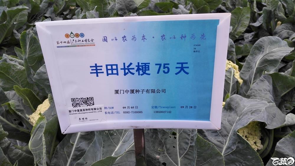2015年双12广东种业博览会全国优良蔬菜品种田间表现-厦门中厦种子丰田长梗75天花椰菜-001.jpg