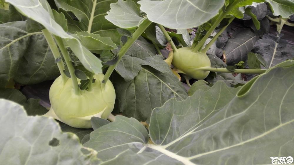 2015年双12广东种业博览会全国优良蔬菜品种田间表现-厦门中厦种子绿球二号丕蓝(芥兰头)-011.jpg