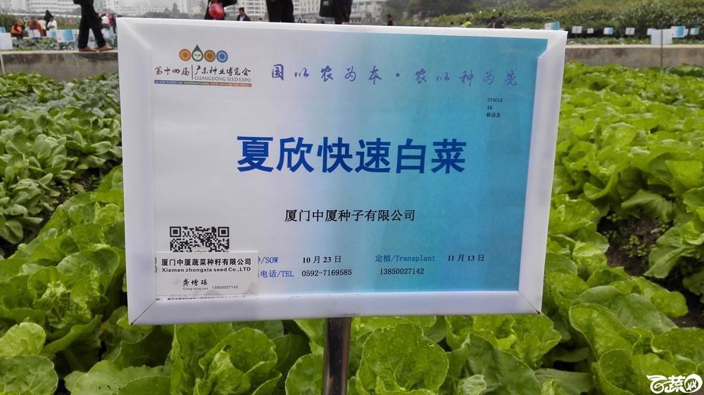 2015年双12广东种业博览会全国优良蔬菜品种田间表现-厦门中厦种子夏欣快速白菜-001.jpg