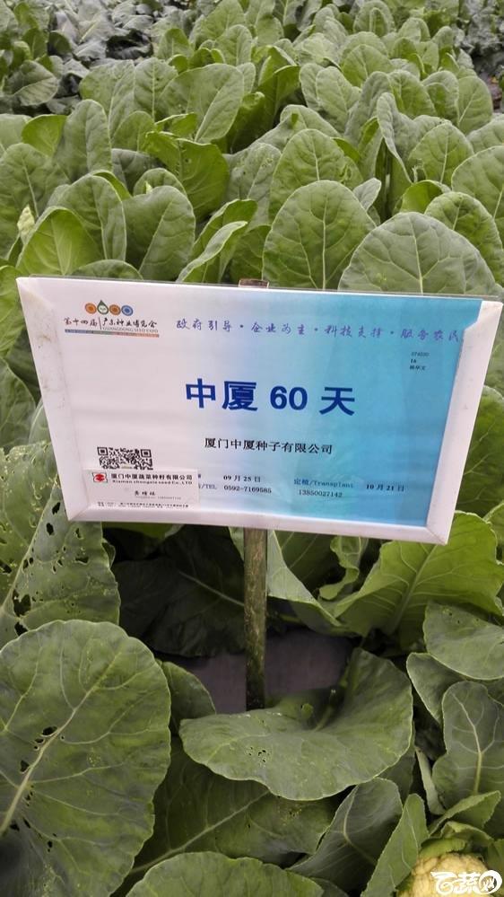 2015年双12广东种业博览会全国优良蔬菜品种田间表现-厦门中厦种子中厦60天花椰菜-001.jpg