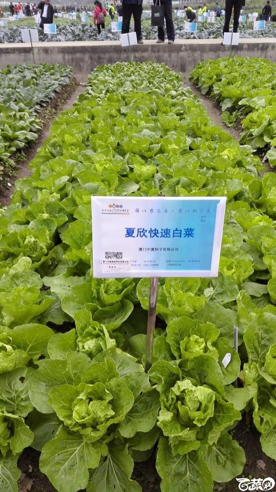 2015年双12广东种业博览会全国优良蔬菜品种田间表现-厦门中厦种子夏欣快速白菜-004.jpg