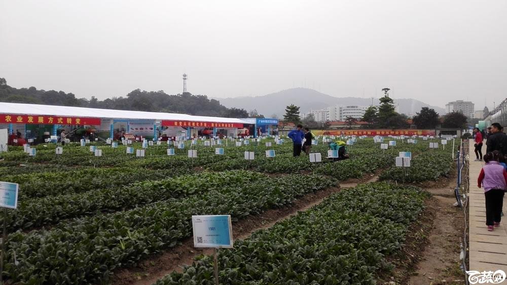 2015年双12广东种业博览会全国优良蔬菜品种田间展示盛况 002.jpg