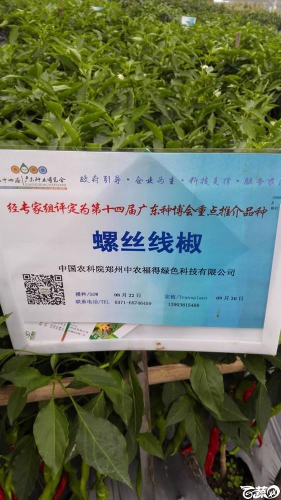 2015年双12广东种业博览会全国优良蔬菜品种田间表现-第十四届广东种博会重点推介品种-中国中农福得绿色科技螺丝线椒-001.jpg