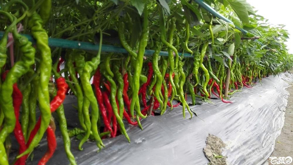 2015年双12广东种业博览会全国优良蔬菜品种田间表现-第十四届广东种博会重点推介品种-中国中农福得绿色科技螺丝线椒-010.jpg