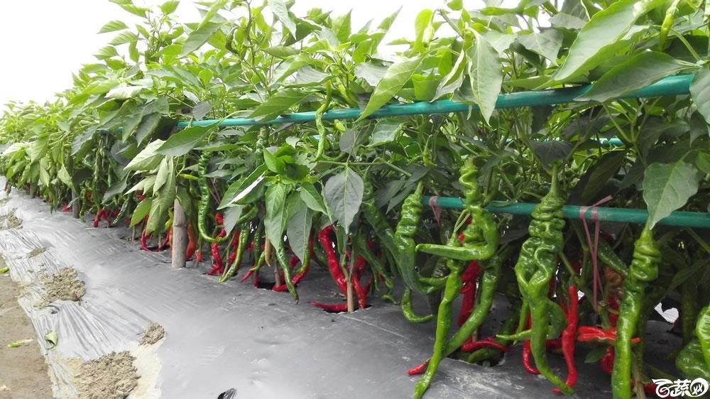 2015年双12广东种业博览会全国优良蔬菜品种田间表现-中国中农福得绿色科技青螺一号线椒-003.jpg