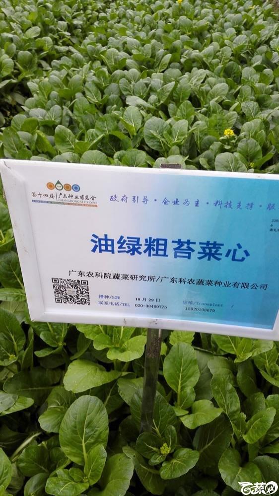 2015年双12广东种业博览会全国优良蔬菜品种田间表现-广东省农业科学院蔬菜研究所油绿粗苔菜心-001.jpg
