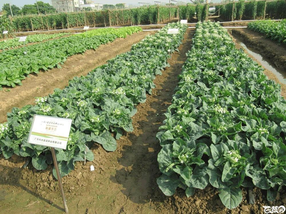 2014年12月10日广州市蔬菜新品种春季展示会实物展示-秋盛芥蓝-001.jpg