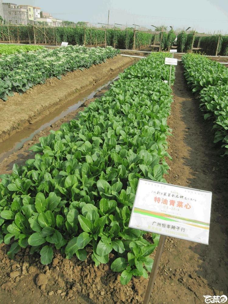 2014年12月10日广州市蔬菜新品种春季展示会实物展示-广州恒丰特油青菜心.gif