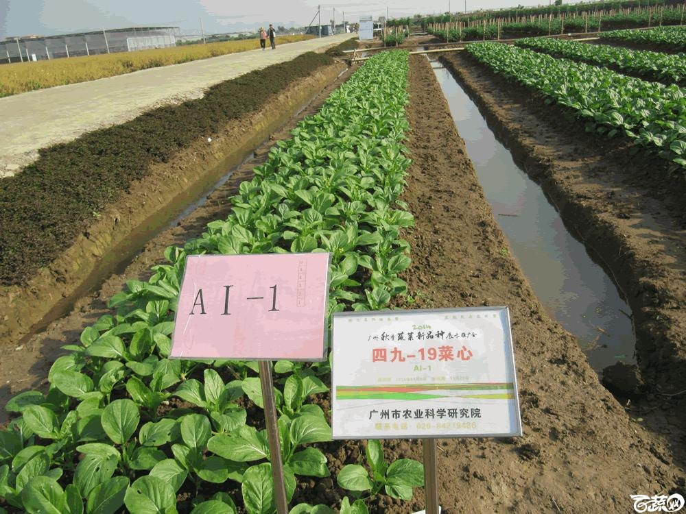 2014年12月10日广州市蔬菜新品种春季展示会田间展示菜心 002.gif