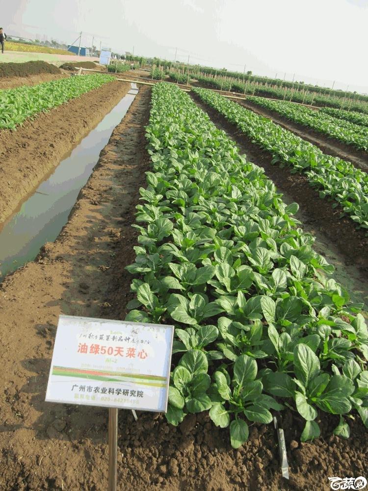 2014年12月10日广州市蔬菜新品种春季展示会田间展示菜心 003.gif