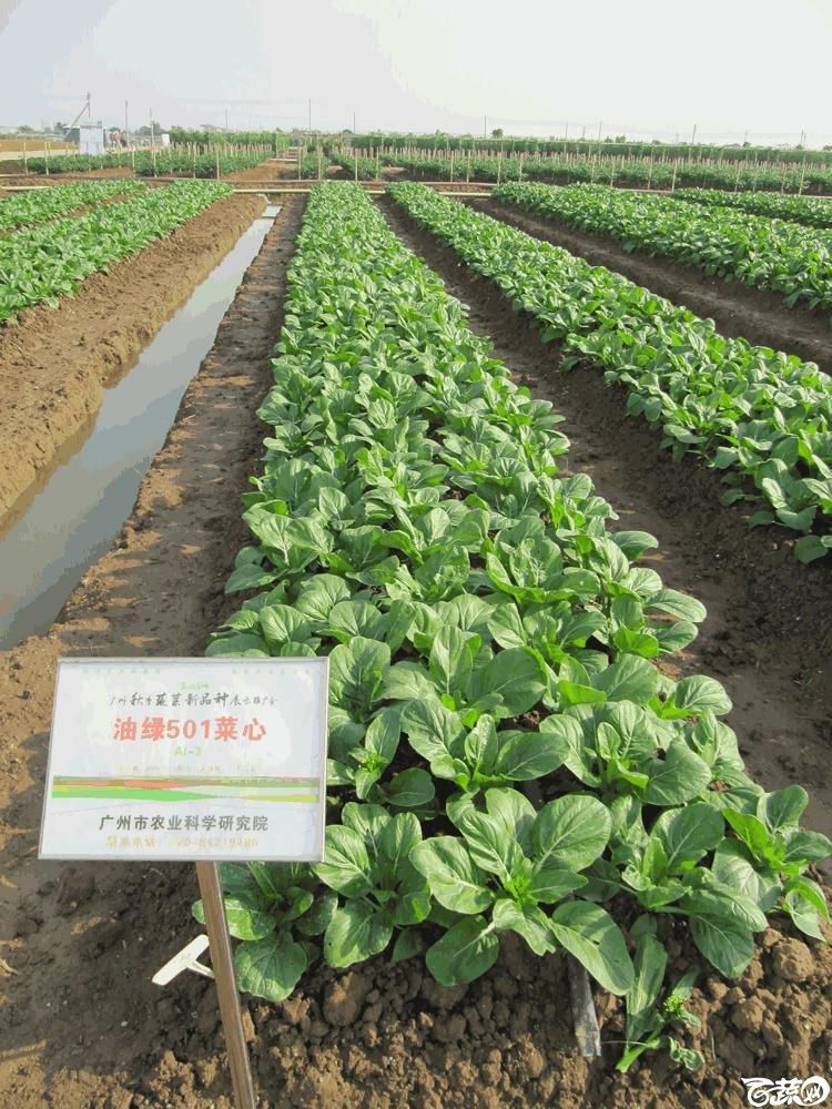 2014年12月10日广州市蔬菜新品种春季展示会田间展示菜心 005.gif